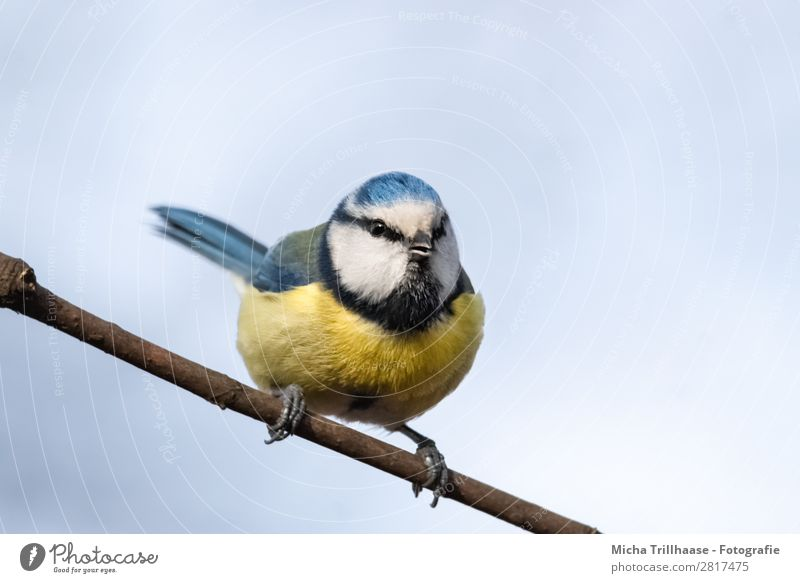 Blue tit on a branch Nature Animal Sky Sunlight Beautiful weather Branch Wild animal Bird Animal face Wing Claw Tit mouse Beak Eyes Feather 1 Observe Looking
