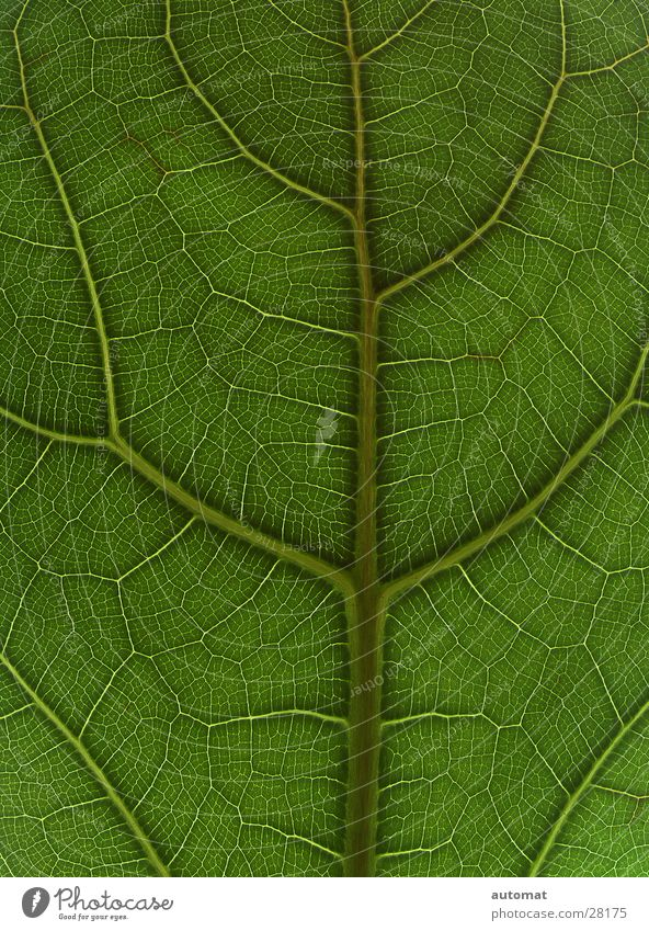 green surface Leaf Green Tree Zoom effect Background picture Nature Flat Houseplant Detail Structures and shapes leaf surface Plant vegetable