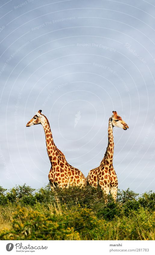 Giraffe Duo Nature Landscape Plant Animal Wild animal 2 Pair of animals Yellow In pairs Safari South Africa Steppe Patch Colour photo Exterior shot Day Sky
