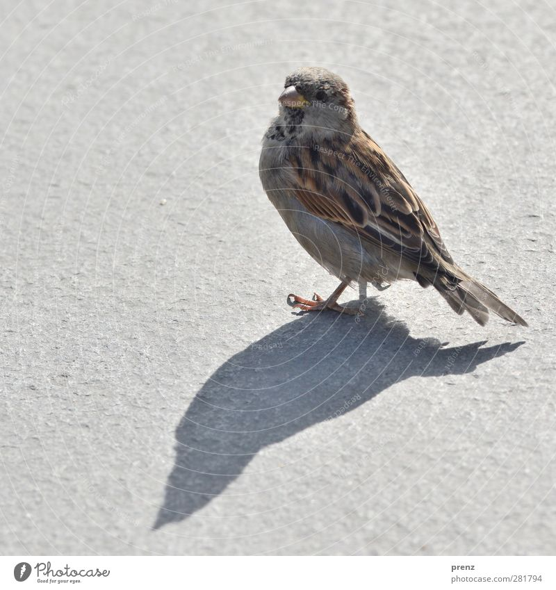 one with shadow Environment Nature Animal Wild animal Bird 1 Brown Gray Sparrow Songbirds Shadow Colour photo Exterior shot Deserted Copy Space left Morning