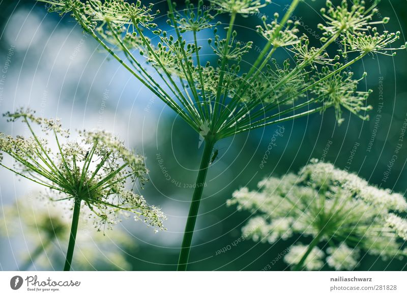 filigree Nature Plant Flower Blossom Wild plant Apiaceae Umbellifer Meadow Field Blossoming Esthetic Green White Fragile Delicate Colour photo Subdued colour