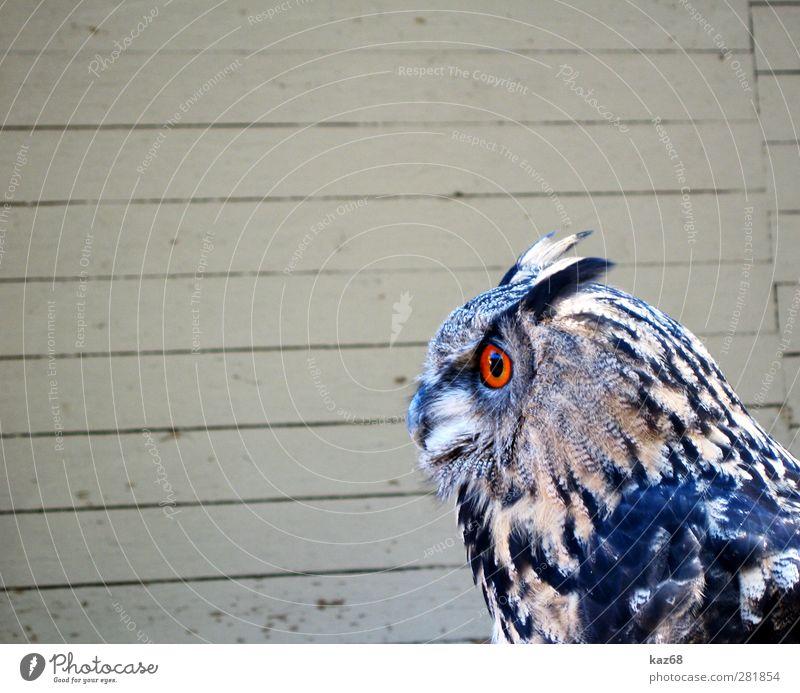 eagle owl Animal Wild animal Bird Zoo Wood Flying Brown Orange Bird of prey Eagle owl Owl birds Europe Forest falconry Eyes Looking Wait Feather Beak nocturnal