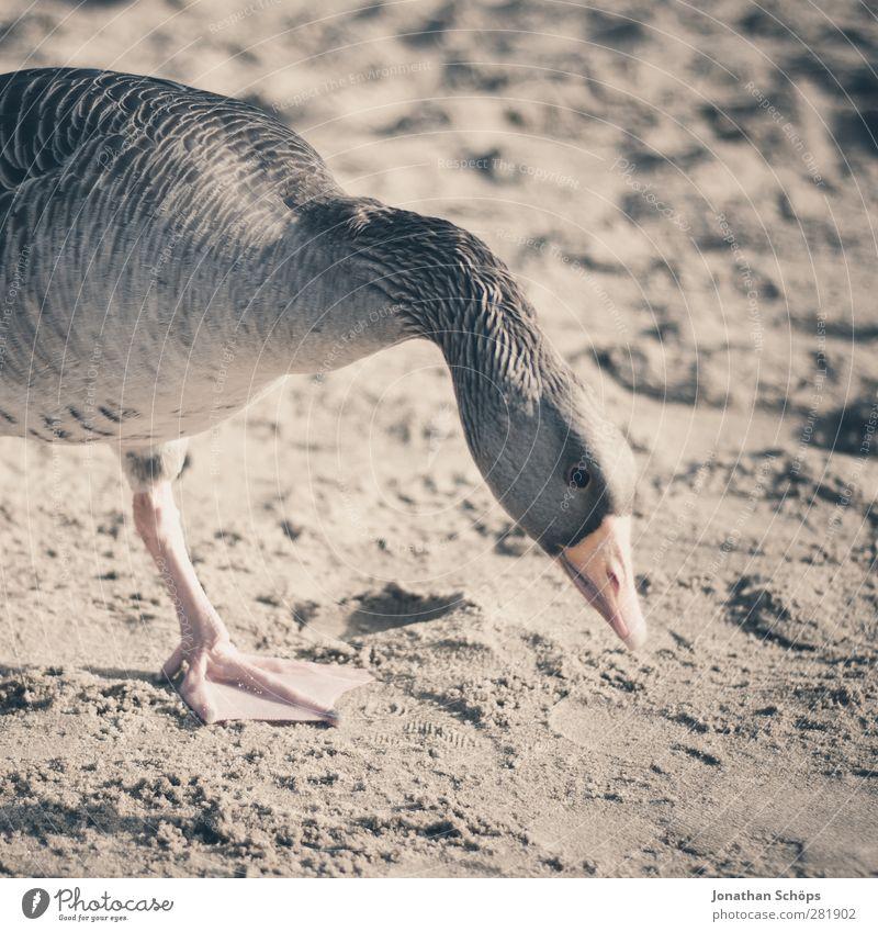 Beach Goose I Animal Wild animal Bird Animal face 1 Brown Sand Sunlight Search Foraging Neck Profile Beak Themse Be confident Lunch Feeding Colour photo