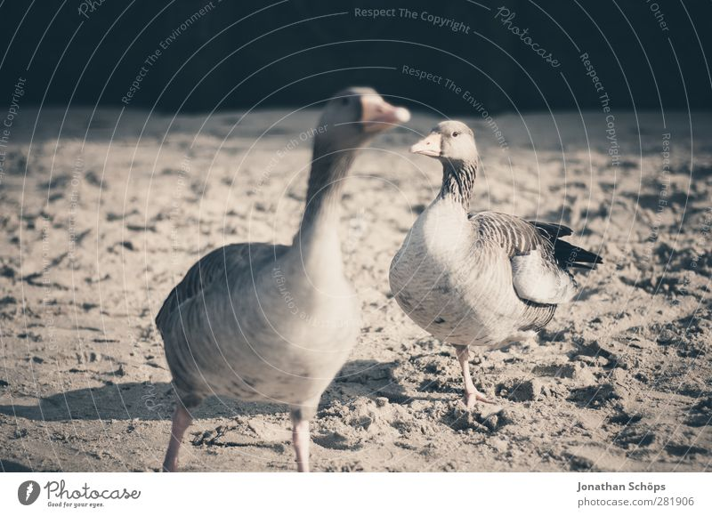 Beach Animal Sand Funny Bird Brown Wild animal Pair of animals Search Brash Beak Lunch Goose Feeding Defensive Attack