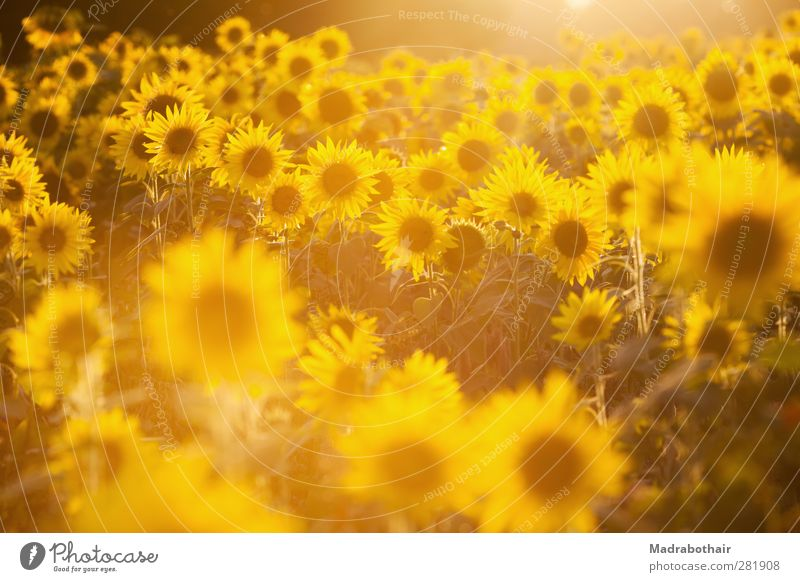 Luminosity of nature Nature Landscape Plant Sunlight Summer Autumn Flower Sunflower Sunflower field Field Illuminate Many Warmth Yellow Warm-heartedness Colour