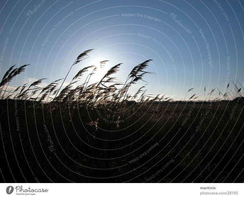 blowing reed Grass Back-light slippery Sun Blue Sky