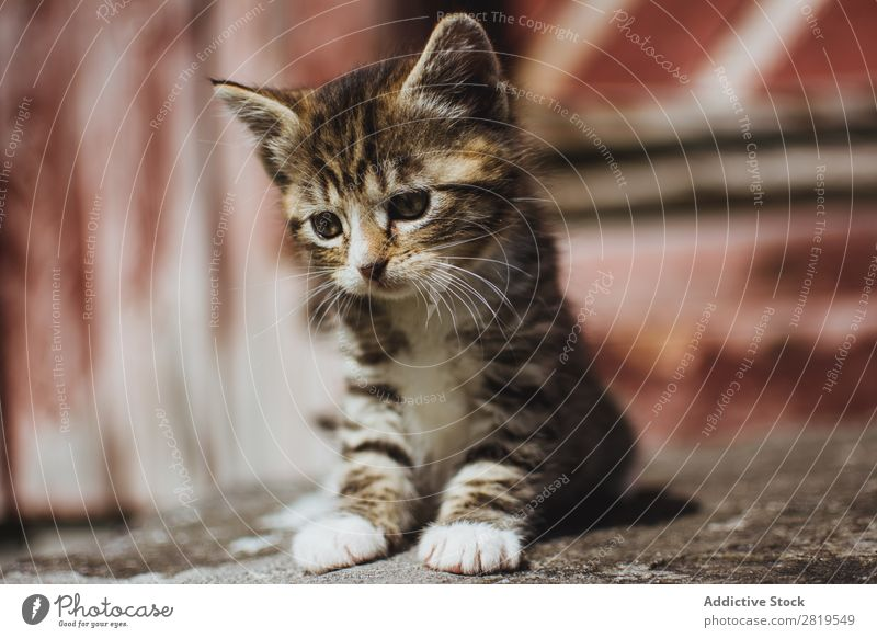 Cute little cat on the ground Kitten Ground Sit Animal Pet Cat Youth (Young adults) Domestic Portrait photograph Mammal Beautiful Delightful Fur coat Funny