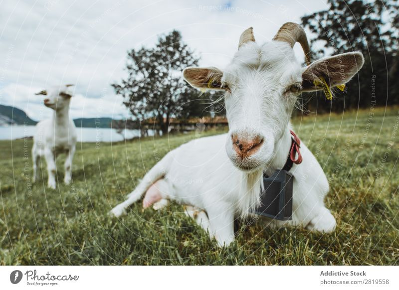 Two goats on meadow Goats Meadow Green Pasture Farm Rural Grass Nature Summer Mammal Field Animal Domestic Livestock Agriculture Cute White Child Funny Fur coat