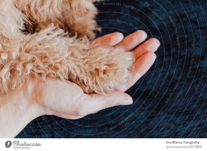 toy poodle Dog paws and human hand close up Woman Human being Youth (Young adults) Young woman Red Hand House (Residential Structure) Animal Joy Adults Love