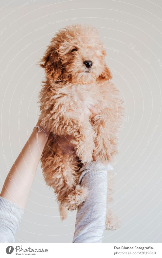 woman holding baby toy poodle at home Woman Human being Dog Youth (Young adults) Young woman Beautiful Hand House (Residential Structure) Animal Joy Face