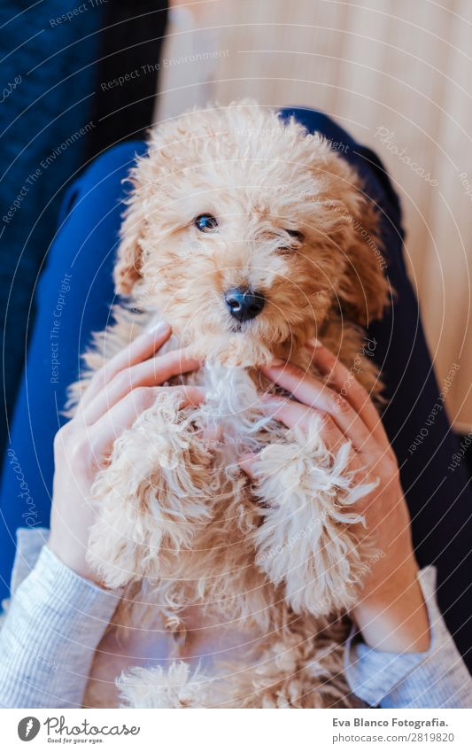 cute brown toy poodle at home with his owner Woman Human being Dog Youth (Young adults) Young woman Beautiful Hand House (Residential Structure) Animal Joy