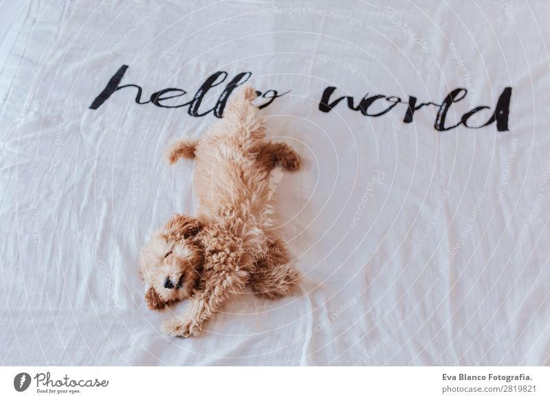 cute puppy brown toy poodle on bed Joy Face Relaxation Playing House (Residential Structure) Animal Earth Fur coat Pet Dog 1 Love Sleep Small Funny Cute Smart