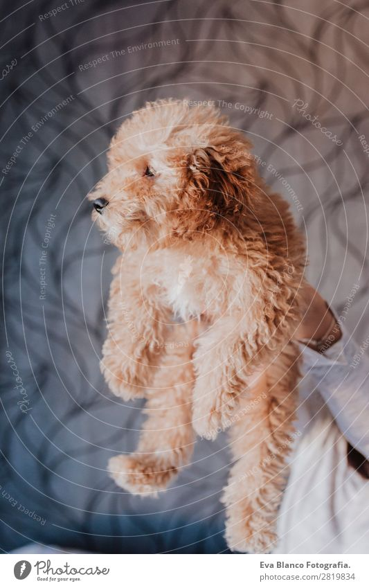 Cute brown toy poodle with his owner at home Lifestyle Joy Happy Beautiful Leisure and hobbies Freedom House (Residential Structure) Human being Young woman