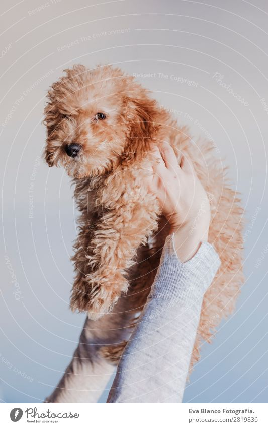 cute brown poodle dog at home Woman Human being Dog Youth (Young adults) Young woman Beautiful Hand House (Residential Structure) Animal Joy Face Lifestyle