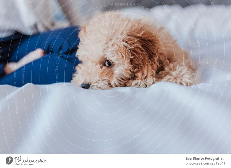 Cute toy poodle with his young owner at home Woman Human being Vacation & Travel Dog Youth (Young adults) Young woman Beautiful White Animal Adults Life Funny