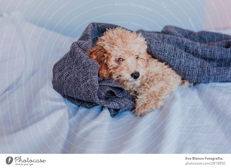 Cute brown toy poodle at home Vacation & Travel Dog Beautiful White Animal Life Funny Happy Small Brown Pink Moody Sit Baby Sleep
