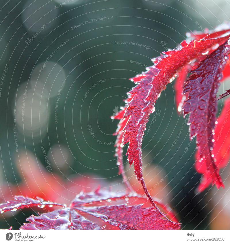 Tears of nature... Nature Plant Autumn Rain Leaf Maple tree Maple leaf Garden Drop Glittering Illuminate Growth Esthetic Beautiful Wet Natural Gray Red White