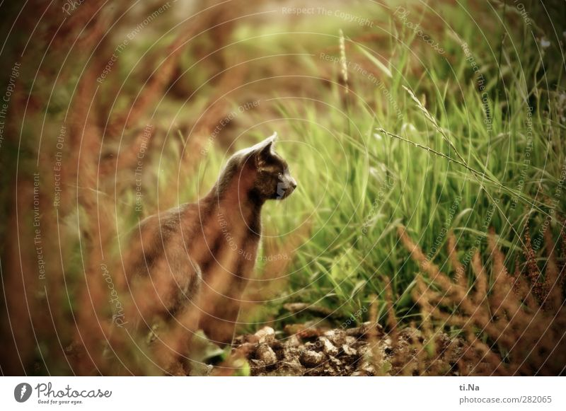 maigret Environment Nature Landscape Summer Grass Bushes Garden Meadow Pet Cat Domestic cat 1 Animal Observe Hunting Esthetic Beautiful Contentment Watchfulness