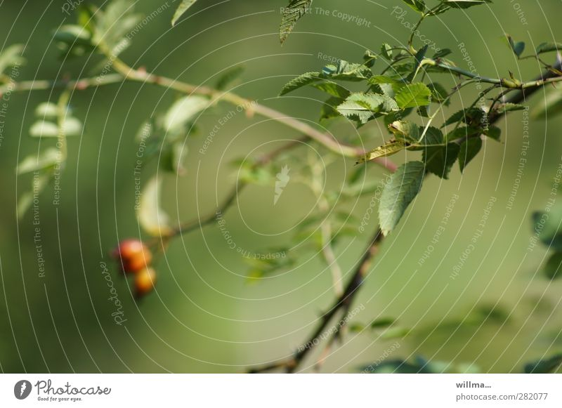 perception Nature Plant Bushes Rose hip Leaf Green Red Comforting Discern Impression Far-off places Near Blur Shallow depth of field Twig Calm Meditative