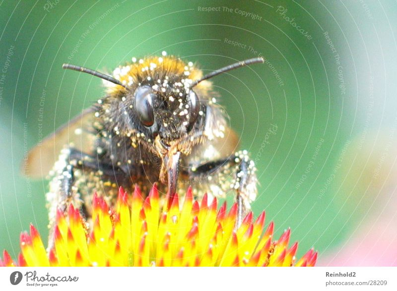 Bee in summer Animal Bumble bee Flying Colour Garden
