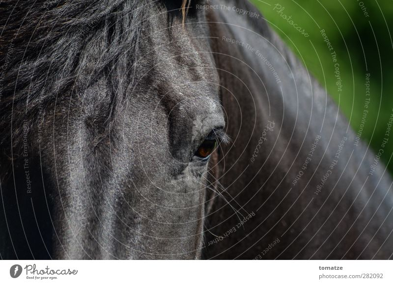horse Animal Horse 1 Athletic Pride Power Eyes Mane Head Dark Forward Looking Colour photo Exterior shot Close-up Day Animal portrait Looking into the camera