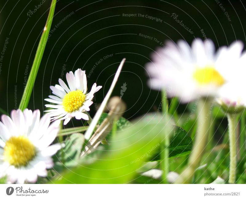 goose flower Daisy Flower Grass Green