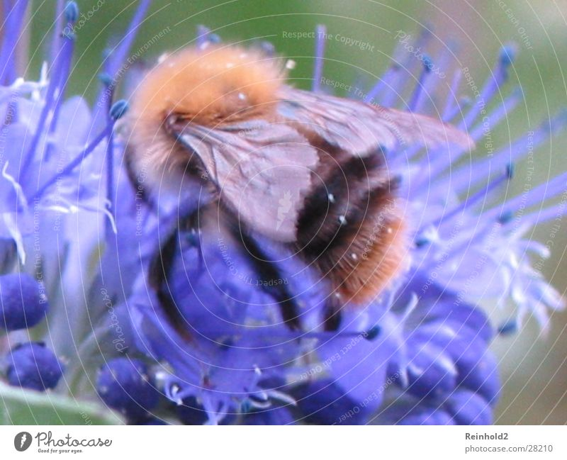 Bumblebee in blue Bumble bee Far-off places Summer Coincidence Blue Garden tele