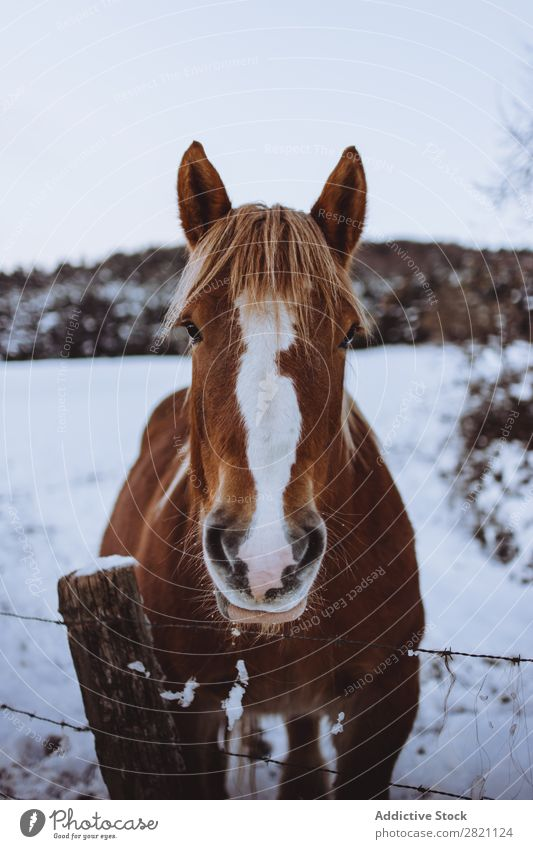 Horse in snowy paddock Paddock Winter Nature Farm Animal Snow stallion Mammal equine Freedom Ranch Domestic equestrian Meadow Field Beautiful Chestnut Purebred