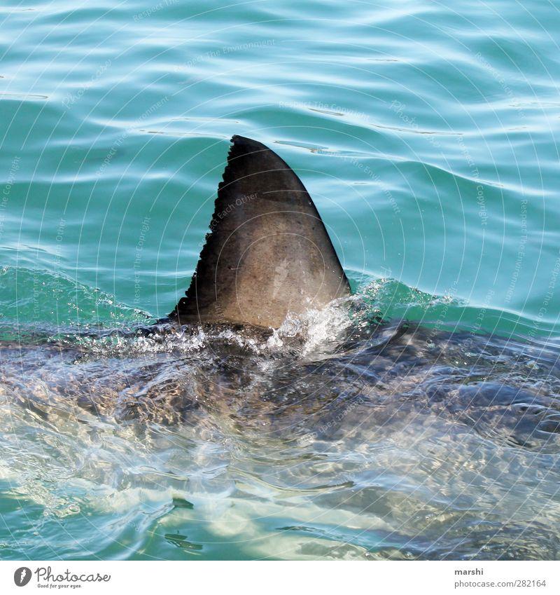 The white shark Animal Wild animal Shark 1 Gigantic Fin Ocean South Africa Swimming & Bathing Threat Land-based carnivore shark fin Colour photo Exterior shot