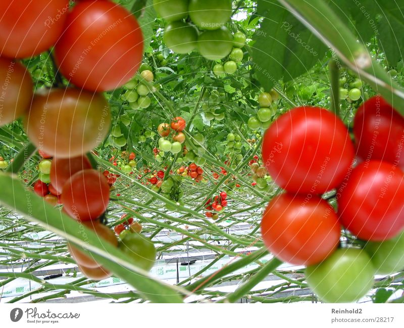 tomato Red Delicious Rhine-Westfalia Electricity Works AG Healthy Erft circuit Germany