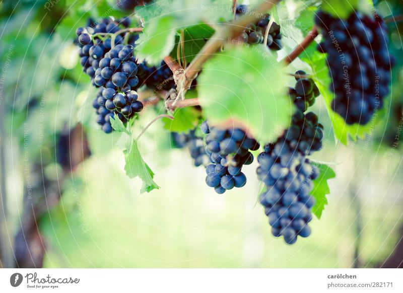 Time to harvest Environment Nature Autumn Beautiful weather Plant Agricultural crop Field Blue Green Bunch of grapes Vine Mature Grape harvest Red wine velvet