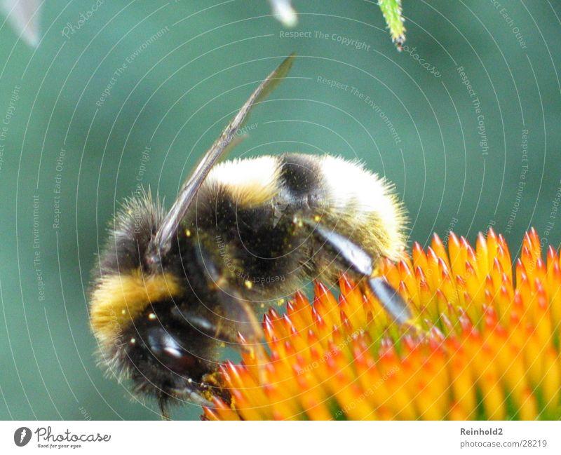 Bumblebee No. 1 Far-off places tele Garden Blaze Colour