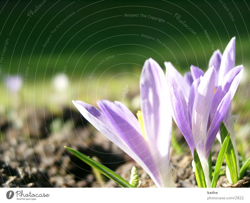 crocuses Crocus Flower Spring Grass Green Violet Earth