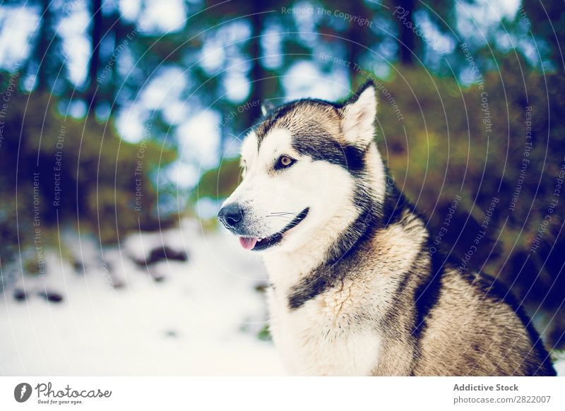 Content dog in snows of woods Dog Forest Snow Leisure and hobbies Husky Freedom Contentment Animal Pet Climate Domestic Nature Winter Mammal Fur coat Friendship