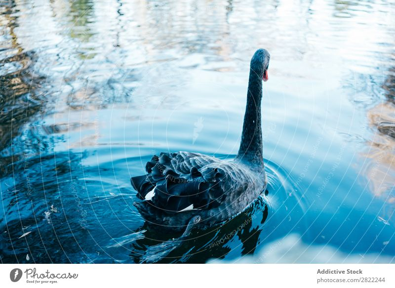 Swan floating in lake Lake Floating Bird Water wildlife Nature Black Calm Beauty Photography Reflection Wild Beautiful Peaceful Pond Graceful Blue Lovely Single