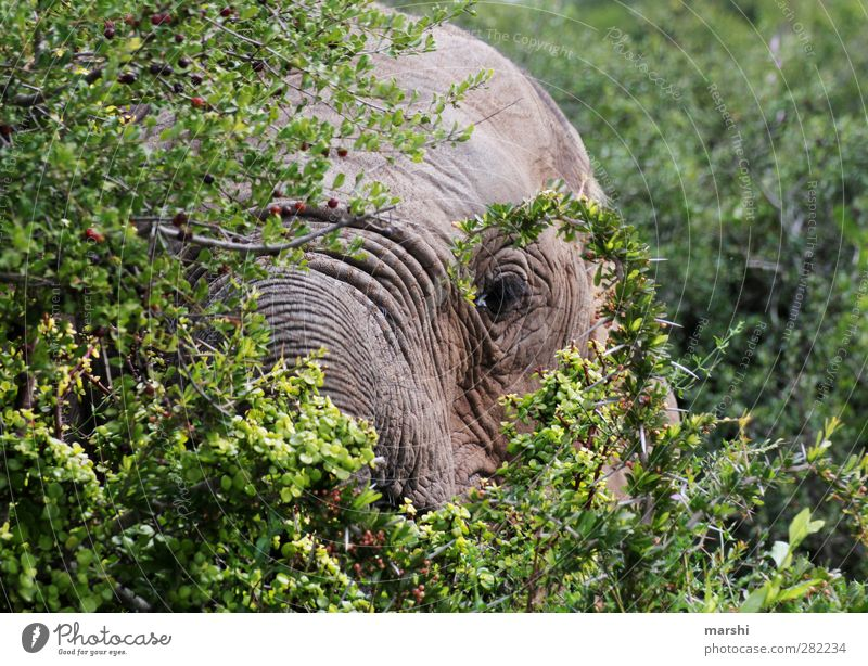 eye contact Landscape Plant Animal Tree Bushes Wild animal 1 Soft Gray Green Elephant Elephant skin Elephant eye Safari South Africa Colour photo Exterior shot