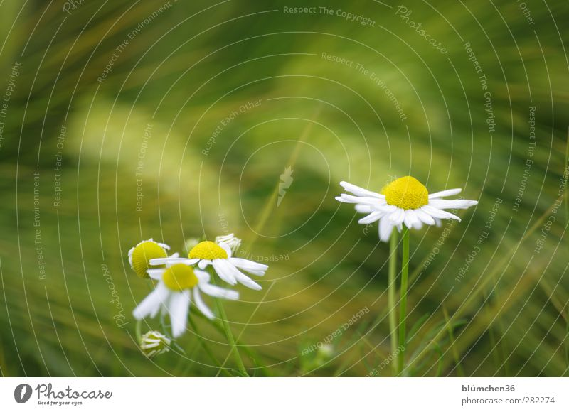 At the edge of the field Plant Flower Agricultural crop Chamomile Cornfield Field Movement Blossoming To swing Healthy Beautiful Yellow Green White Spring fever