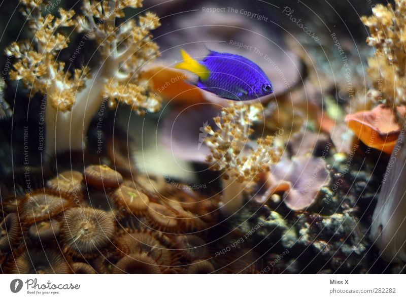 Underwater blue Plant Animal Water Coral reef Ocean Fish 1 Blue Aquarium Ornamental fish Anemone Fishes Colour photo Multicoloured Close-up Underwater photo