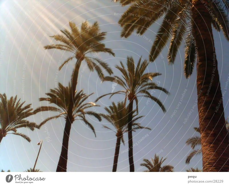 sunpalm Palm tree Beach Europe Sun