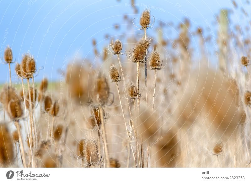 sere teasel plants Nature Plant Autumn Flower Blossom Thorny Dry Teasel dipsacus Shriveled Point detail Natural handle trunk tight Withered Dried parched Unset