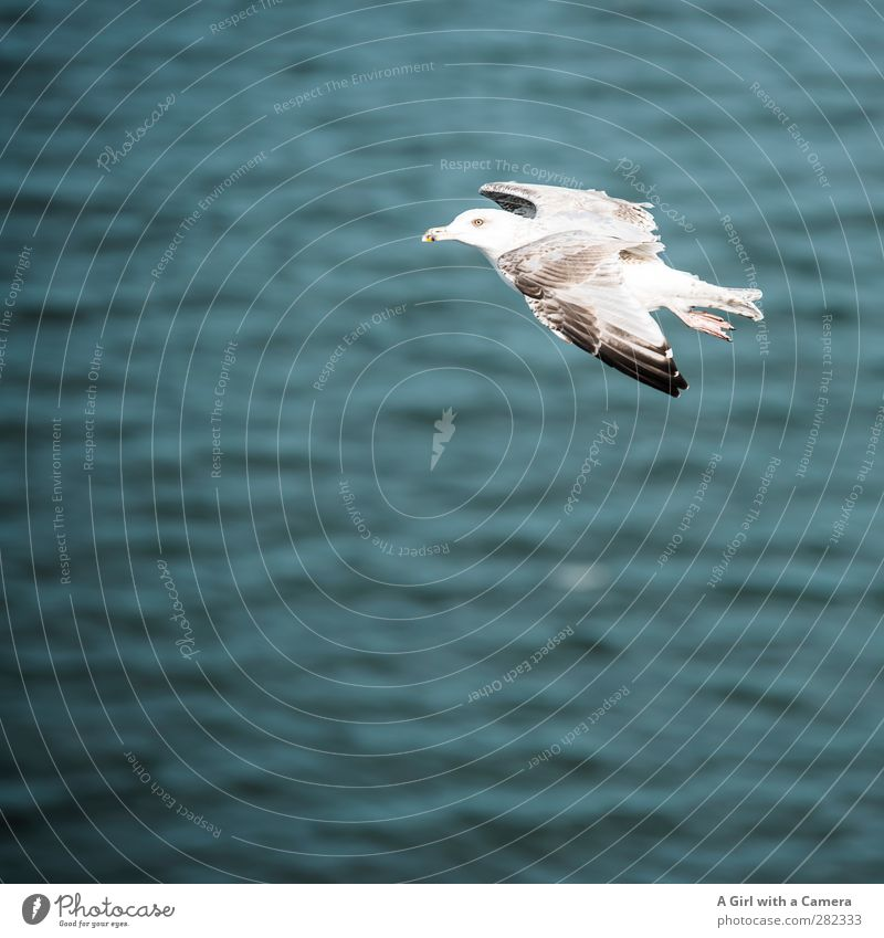 flying by Animal Wild animal Bird Seagull 1 Flying Free Beautiful Ocean Subdued colour Exterior shot Detail Deserted Copy Space left Shallow depth of field