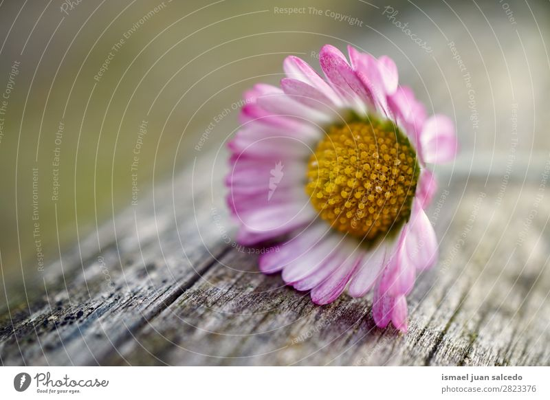 daisy flower plant Flower Daisy Family White Blossom leave Plant Garden Floral Nature Decoration Romance Beauty Photography Fragile background Spring Summer