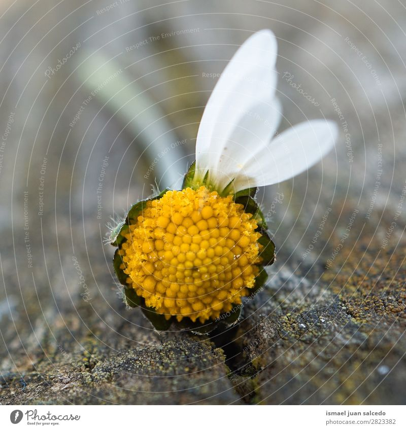 daisy flower plant Nature Summer Plant White Flower Winter Autumn Spring Garden Decoration Beauty Photography Blossom leave Daisy Daisy Family Fragile Floral