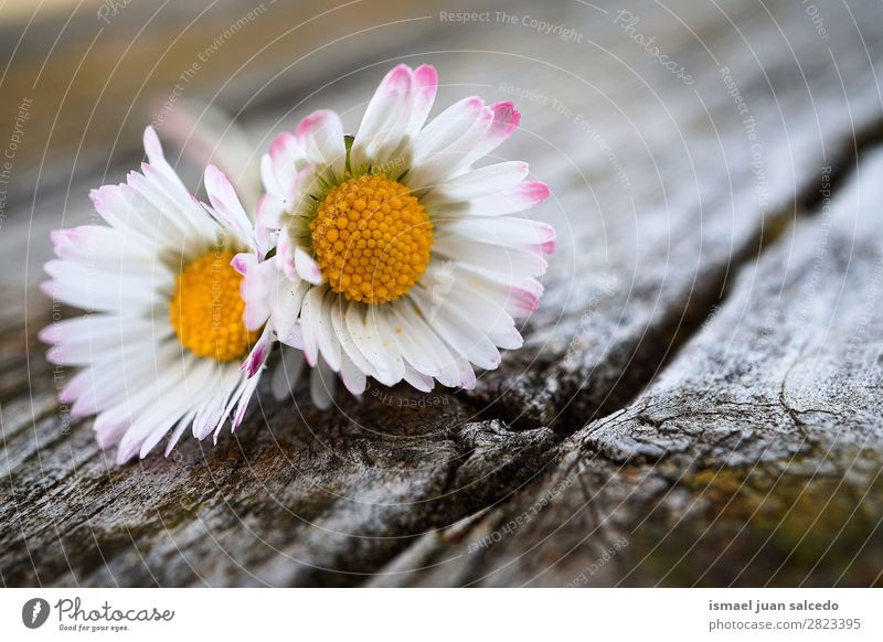 daisy flower plant Flower Daisy Family Marguerite White Blossom leave Plant Garden Floral Nature Decoration Romance Beauty Photography Fragile background Spring