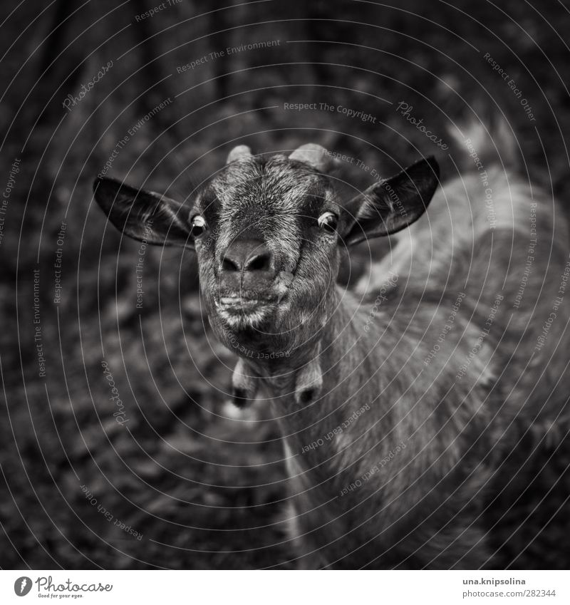 crazy goat Animal Farm animal Animal face Pelt Goats Antlers 1 Observe Funny Natural Curiosity Crazy Tongue Looking Black & white photo Exterior shot
