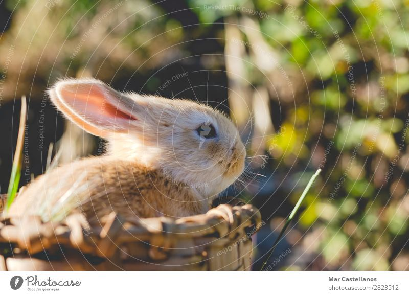 Rabbit in wooden basket. Happy Summer Sun Easter Nature Animal Grass Pet Small Natural Cute Wild Soft Delightful ear wildlife background out of focus Basket