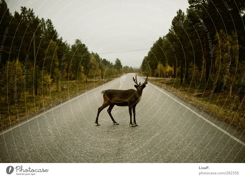 Rudi stands in the way Landscape Autumn Deserted Motoring Street Animal Animal face Reindeer 1 Vacation & Travel Looking Stand Brash Wild Brown Green
