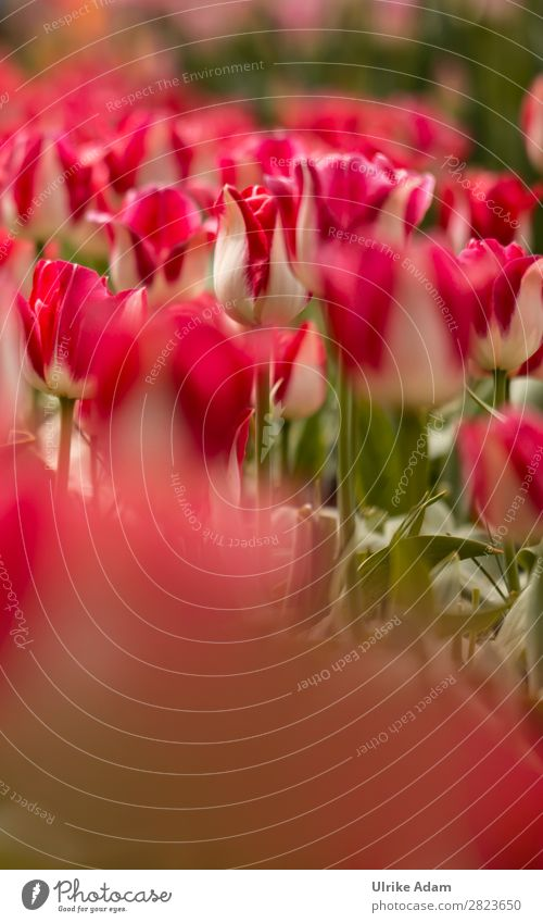 Flowers - Red Tulips Design Wellness Harmonious Spa Decoration Wallpaper book cover Easter card Feasts & Celebrations Mother's Day Nature Plant Spring Blossom