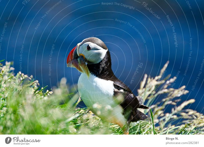 Blue Green Red Animal Black Grass Bird Wild animal Animal face To feed Iceland Puffin