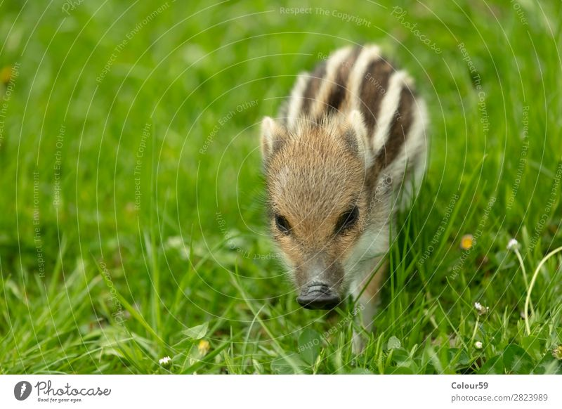 Freshman on a meadow Beautiful Baby Nature Animal Spring Grass Meadow Wild animal 1 Baby animal Walking Small Cute Brown Green White Contentment Boar youthful